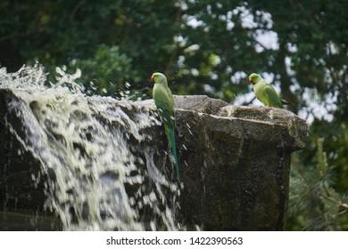 Green parrots drinking water on rocks near waterfall