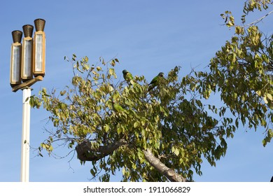 Green parrots in the tree