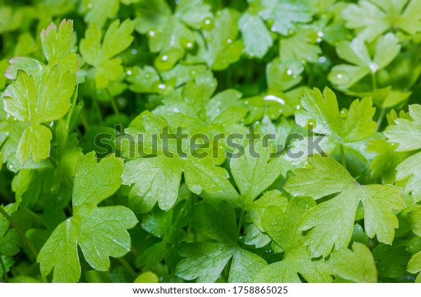 Green parsley. Home-grown vegetables. Green vitamins. Raw vegetables. Organic farming.