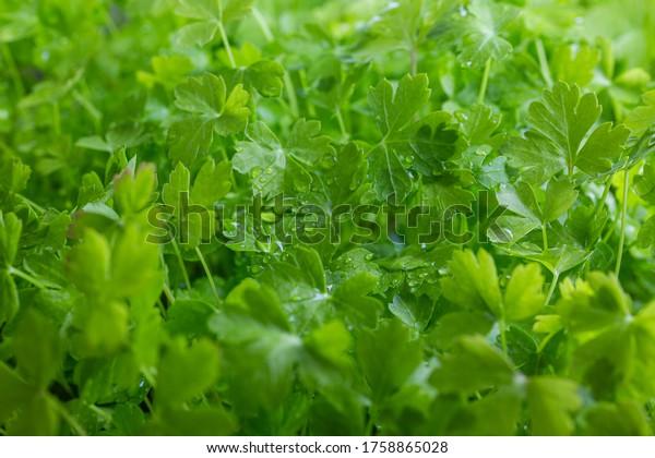 Green parsley. Home-grown vegetables. Green vitamins. Raw vegetables. Organic farming.