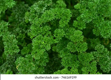 Green Parsley leaf background. Parsley or garden parsley is a species of flowering plant in the family Apiaceae, native to the central Mediterranean region.