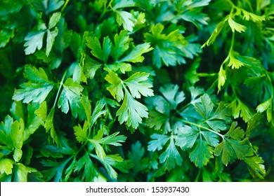Green parsley. Macro image.
