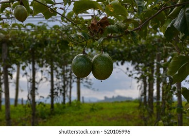 Green passion fruit on the vine in plantations
