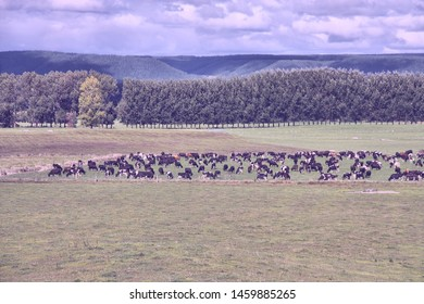 Green pasture on plains of Waikato region, New Zealand. Cattle herd.
