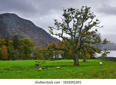 Green pasture with tree and sheep grazing on the bank of Ullswater Lake in Cumbria, England
