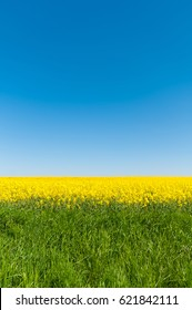 Green pasture and yellow rape blossoms against clear blue sky in upright format with empty space for text; Agricultural sector; Cultivation of oil plants; Striking background