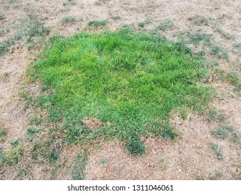 green patch of grass in brown lawn or yard