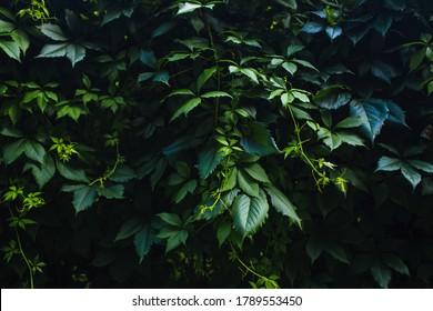 green pattern from green dark ivy in summer