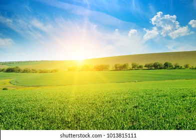 Green pea field and sunrise in the blue sky. Spring agricultural landscape.