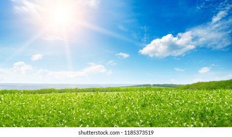 Green pea field and sunrise in the blue sky. Spring agricultural landscape.Wide photo .