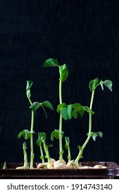 Green pea sprouts sprayed with water against the black background. Germinating greens at home