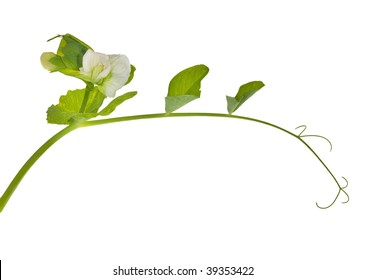 green pea tendril with flower isolated on white background
