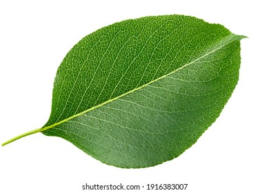 Green pear leaf isolated on white background. File contains clipping path.