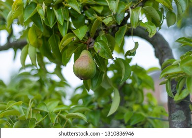 Green pear on the pear tree.