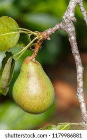 Green pear ripening on a pear tree in an orchard during summer