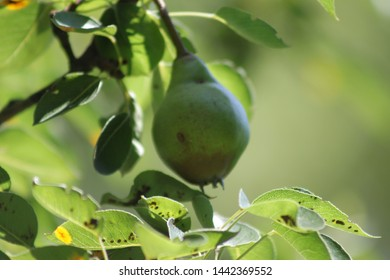 green pears on tree seen growing at the community garden in the bedford Stuyvesant section of Brooklyn on a sunny summer day in Brooklyn NY July 4 2019
