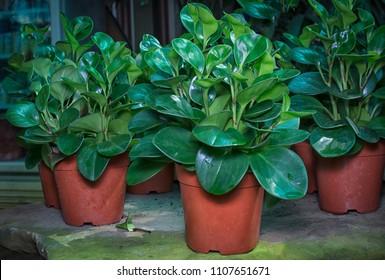 green peperomia plant