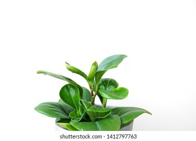 Green Peperomia plants with round leaves on white background. Indoor house plant used in homes to add color and help clean the air.