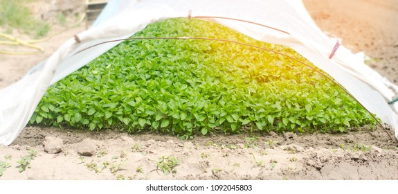 green pepper seedlings in the greenhouse, ready for transplant in the field, farming, agriculture, vegetables, eco-friendly product, agroindustry