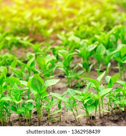 green pepper seedlings in the greenhouse, ready for transplant in the field, farming, agriculture, vegetables, eco-friendly agricultural products, agroindustry, closeup