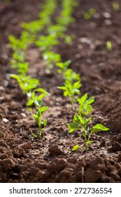 Green Pepper Seedlings with Vertical Frame