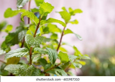 Green peppermint leaves, green pepermint plant for healthy