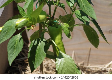 Green peppers seen growing at the community garden in the bedford Stuyvesant section of Brooklyn on a sunny summer day in Brooklyn NY June 30 2019