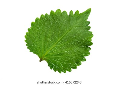 A Green Perilla leaf, also known as Green Shiso, Oba leaf or Beefsteak plant. Isolated on white background