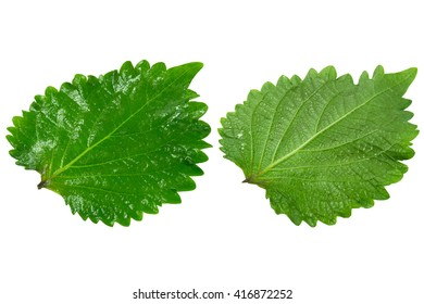 The Green Perilla leaves, also known as Green Shiso, Oba leaf or Beefsteak plant. Isolated on white background