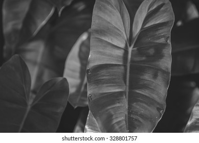 Green Philodendron leaves background , black and white