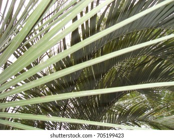 Green Pindo palm tree fronds, up close from beneath