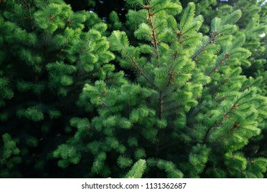 green pine background for use in presentations and graphics