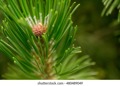 Green pine branch with cone in the forest. Background