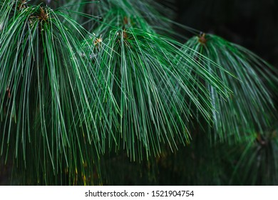 Green pine branch with long needles