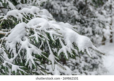 Green pine branch tree covered with snow and ice.