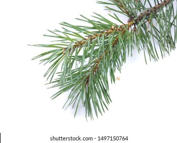 green pine branches on a white background