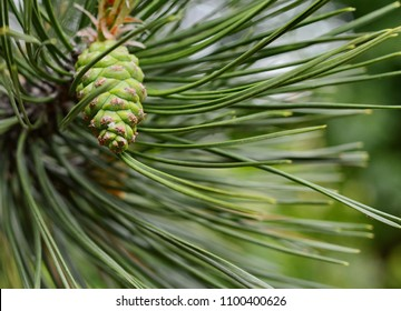 Green pine cone in a Pine Tree