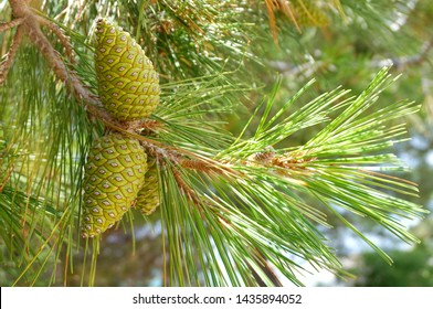 Green pine cones on a branch of pine tree, Pinus pinaster, with the sun rays that pass through the pine needles