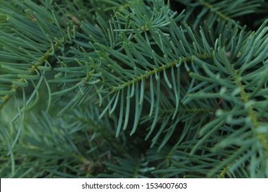 green pine coniferous needles background closeup