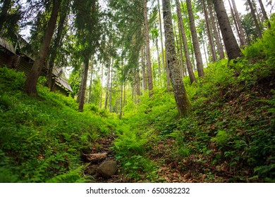 Green pine forest, nature background