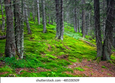 Green pine forest on the slopes of the mountain