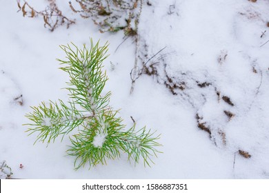 Green pine grows in the winter forest.  Forestry and afforestation