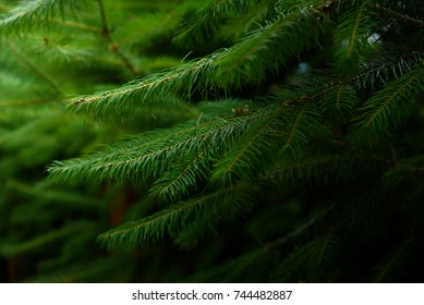 green pine leaves in the dark forrest for background
