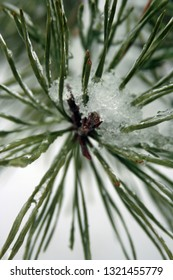 green pine needles covered in snow