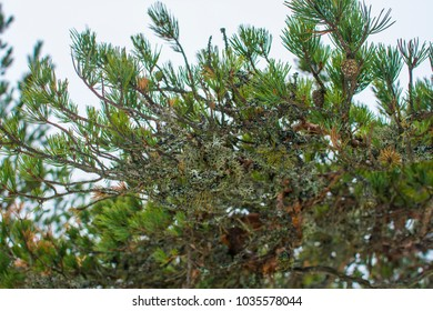 Green pine tree branch with moss, Finland