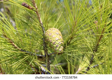 Green pine tree with cones. Evergreen tree background