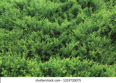 green pine tree in nature