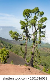 Green pine tree and volcano landscape on top of the Cumbre Vieja in La Palma, Spain.