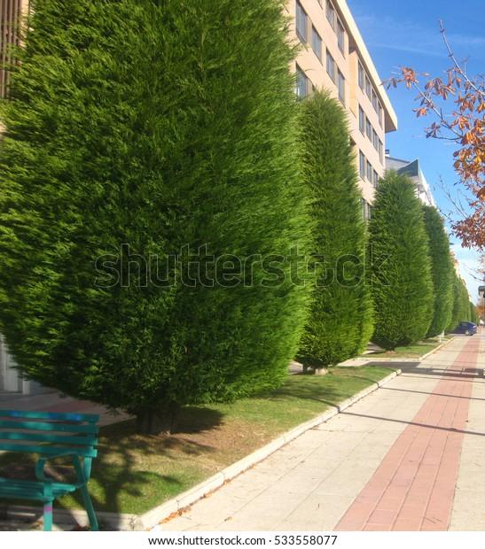 Green pine trees.