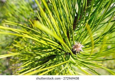 Green pine twig photographed by close